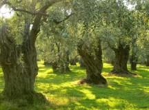 Patru pași în jurul măslinului